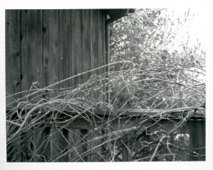 jan-19-wisteria-with-snow0242
