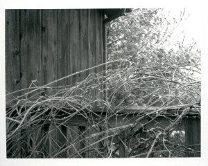 jan-19-wisteria-with-snow0242